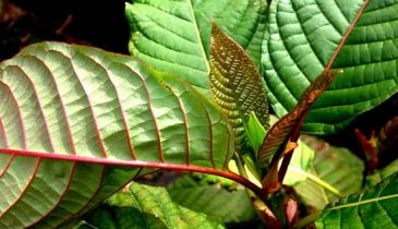 Three Reasons Why You Have To Try Red Vein Kratom
