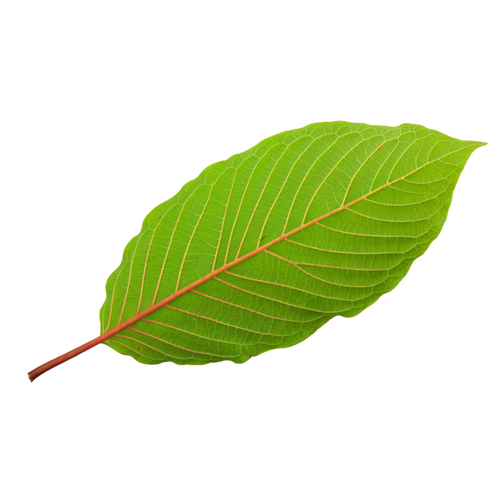 Ins and Outs of Stem and Vein Kratom