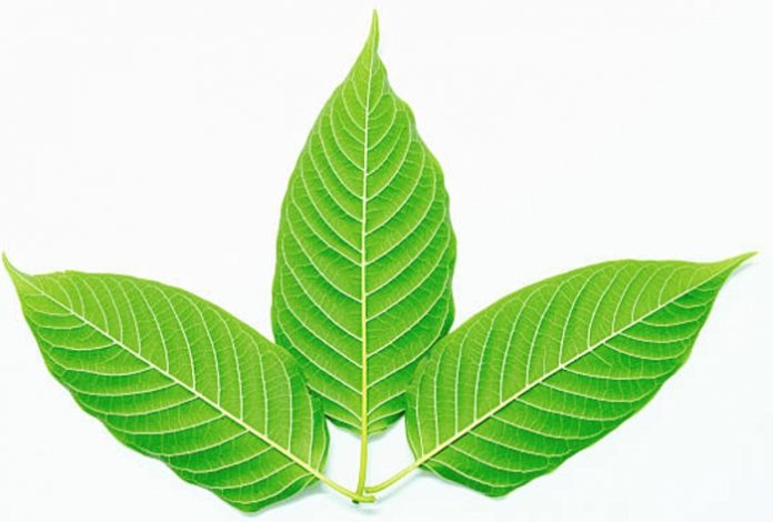 The Truth Behind the Herb: Is Kratom Legal in the US or Not?