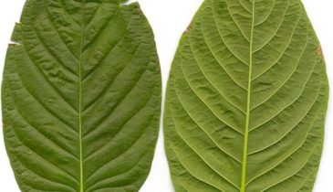 Kratom Guide: Green, Red and White Vein Malay Kratom