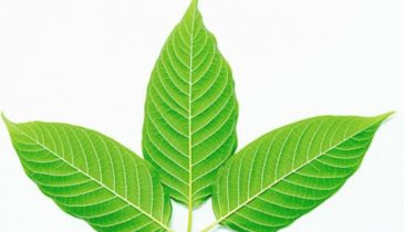 Best White Vein Strains of Kratom for Energy