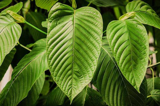 What is the Green Vein Kratom Shot and why it is a hit Product