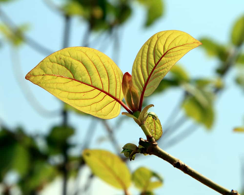 The Importance of Buying Red Vein Kratom Seeds