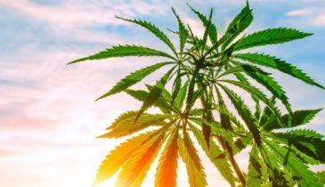 Truth Revealed: Is Marijuana Better than Kratom?