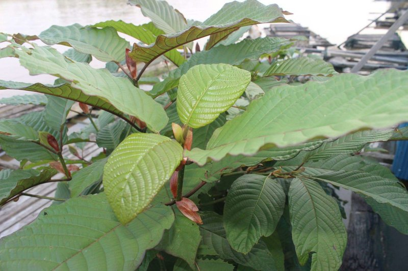The Importance of Red Kali Kratom to the Society